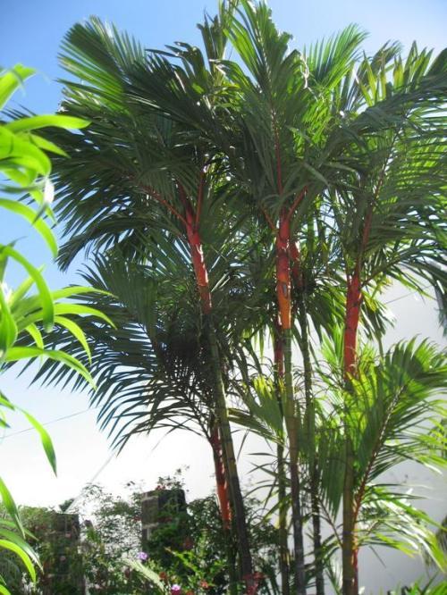 Le palmier rouge à lèvres (Cyrtostachys lakka).