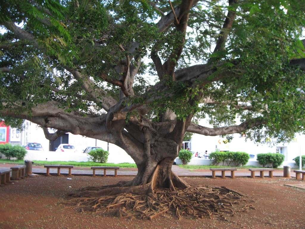 Au pied de l arbre de l intendance defense patrimoine for Jardin 974