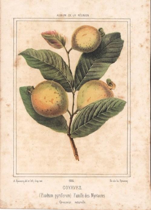 Arthur Grimaud (1784-1869) : Branche de goyaves.(Collection du Musée Léon Dierx).