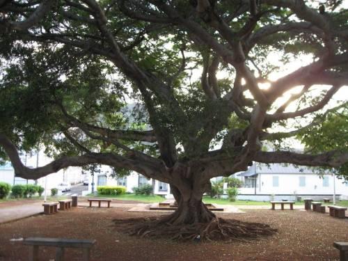 Les arbres jumeaux du square Leconte de Lisle à Saint-Denis.