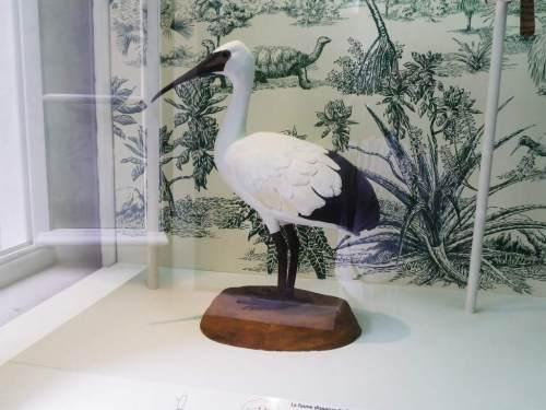 l'ibis de La Réunion/ Muséum d'Histoire naturelle de Saint-Denis (Photo : Jcl).