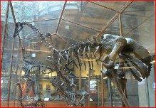 Squelette d'Aepyornis au Muséum de Paris (Wikimedia Commons).
