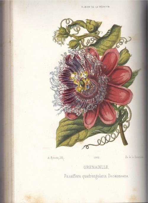 Grenadille (Album de Roussin). Collection particulière d'Alain Marcel Vauthier.