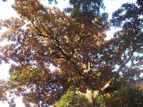 L'arbre au feuillage d'or.