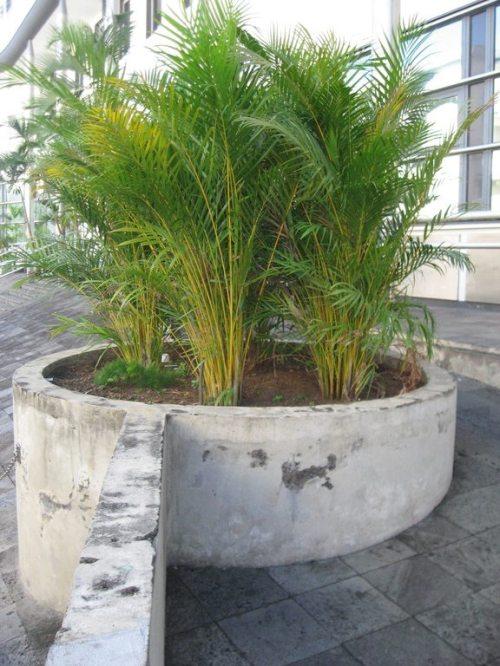 Palmier royal remplacé par des multipliants (devant la BNP à Saint-Denis).
