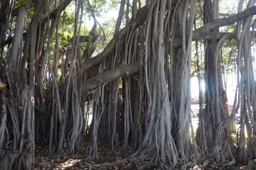 Qui saura démêler les racines des troncs?