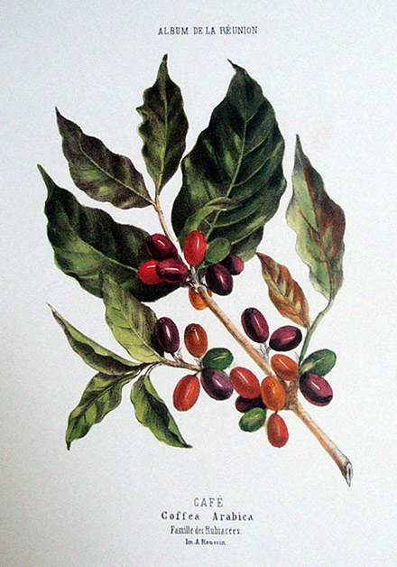 Coffea arabica/ illustration de l'album de Roussin.