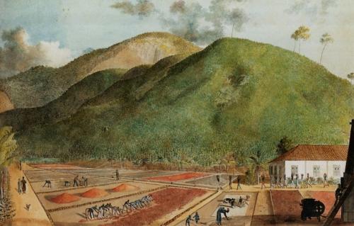 «Récolte du café à Bourbon». Peinture attribuée à Jean-Joseph Patu de Rosemont (1766-1818).