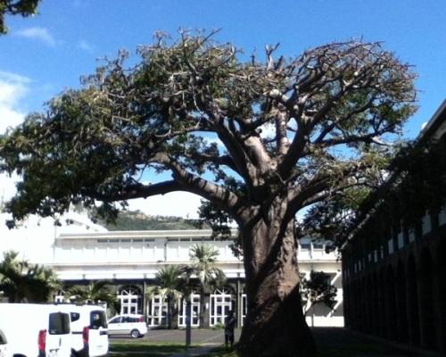 Le baobab de la cour de la D.D.E, photo Marc David