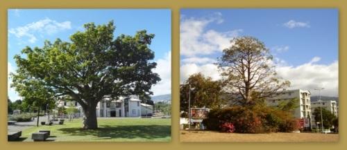 Baobab rond-point et Baobab du Parvis des Droits de l'homme, montage M.David