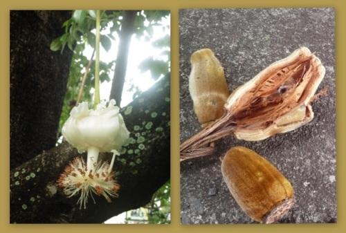 Fleurs et fruits de baobab, montage Marc David